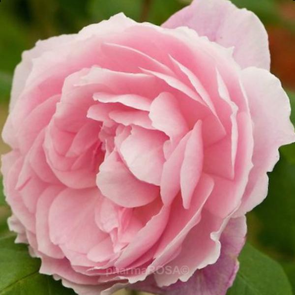 082590b7bb Rosa Ausorts - rózsaszín - angol rózsa - diszkrét illatú rózsa ...