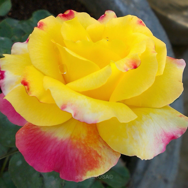 ca3fe9a498 Rosa Horticolor - sárga - rózsaszín - teahibrid rózsa - - - Rózsa ...